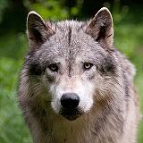 Wolfshooting